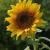 NO Sunflower Alliance Meeting April 22