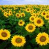 Sunflower Alliance Meeting, June 3