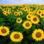 Sunflower Alliance Meeting, March 25