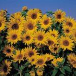 Sunflower Alliance Meeting, Mar 31