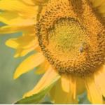 Sunflower Alliance Meeting, December 8